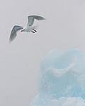 KA_140614_4821 / Larus hyperboreus / Polarmåke