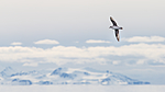 KA_140616_5428 / Fulmarus glacialis / Havhest