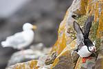 KA_140616_5527 / Fratercula arctica / Lunde <br /> Larus hyperboreus / Polarmåke