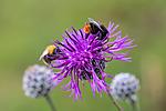 KA_140701_6003 / Centaurea scabiosa / Fagerknoppurt