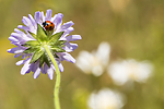 KA_140702_1244 / Coccinella quinquepunctata / Fem-prikket marihøne <br /> Knautia arvensis / Rødknapp