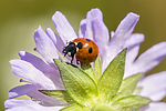 KA_140702_1246 / Coccinella quinquepunctata / Fem-prikket marihøne <br /> Knautia arvensis / Rødknapp