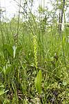 KA_140706_6040 / Microstylis monophyllos / Knottblom