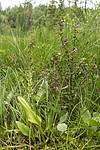 KA_140706_6046 / Microstylis monophyllos / Knottblom