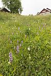 KA_140706_6081 / Gymnadenia conopsea / Brudespore