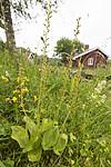 KA_140706_6088 / Listera ovata / Stortveblad