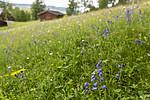 KA_140716_11 / Campanula barbata / Skjeggklokke