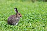 KA_140824_1574 / Lepus timidus / Hare