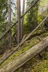KA_140907_3 / Pinus sylvestris / Furu
