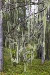 KA_140907_68 / Usnea longissima / Huldrestry