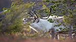 KA_140928_2915 / Rangifer tarandus / Rein
