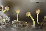 KA_141120_pallida_mm / Sclerophora pallida / Bleikdoggnål