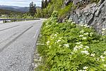 KA_150611_38 / Myrrhis odorata / Spansk kjørvel