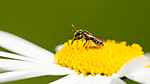 KA_150615_16 / Leucanthemum vulgare / Prestekrage