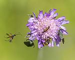 KA_150630_34 / Adscita statices / Grønn metallsvermer <br /> Knautia arvensis / Rødknapp <br /> Stenurella melanura <br /> Trichius fasciatus / Humlebille