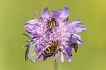 KA_150630_36 / Adscita statices / Grønn metallsvermer <br /> Knautia arvensis / Rødknapp <br /> Stenurella melanura <br /> Trichius fasciatus / Humlebille