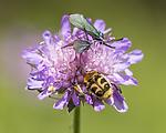 KA_150630_55 / Adscita statices / Grønn metallsvermer <br /> Knautia arvensis / Rødknapp <br /> Stenurella melanura <br /> Trichius fasciatus / Humlebille