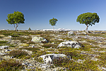 KA_150704_62 / Betula pubescens pubescens / Dunbjørk