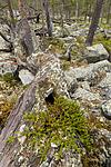 KA_150708_55 / Pinus sylvestris / Furu