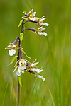 KA_150721_5 / Epipactis palustris / Myrflangre