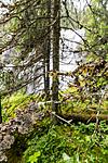 KA_150805_21 / Lobaria hallii / Fossenever <br /> Lobaria pulmonaria / Lungenever