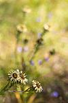 KA_150814_17 / Carlina vulgaris / Stjernetistel