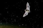 KA_150822_40 / Myotis daubentonii / Vannflaggermus