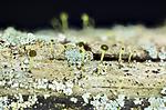 KA_151113_laevigata / Chaenotheca laevigata / Taiganål