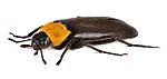 KA_160122_aphana_lateral / Phryganophilus ruficollis