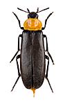 KA_160122_ruficollis_dorsal / Phryganophilus ruficollis