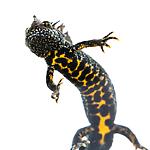 KA_160501_23 / Triturus cristatus / Storsalamander