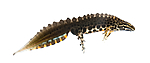 KA_160501_66 / Lissotriton vulgaris / Småsalamander