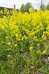 KA_160521_1 / Barbarea vulgaris / Vinterkarse