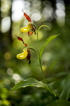 KA_160604_30 / Cypripedium calceolus / Marisko