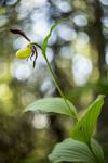 KA_160604_66 / Cypripedium calceolus / Marisko
