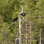 KA_160623_12 / Corvus corax / Ravn