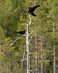 KA_160623_14 / Corvus corax / Ravn
