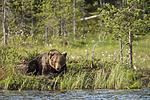 KA_160623_31 / Ursus arctos / Brunbjørn