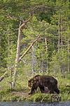KA_160623_42 / Ursus arctos / Brunbjørn