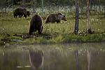 KA_160624_107 / Ursus arctos / Brunbjørn