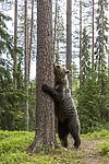 KA_160624_247 / Ursus arctos / Brunbjørn