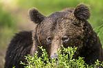 KA_160624_347 / Ursus arctos / Brunbjørn