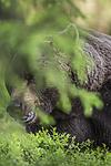 KA_160624_382 / Ursus arctos / Brunbjørn