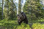 KA_160624_400 / Ursus arctos / Brunbjørn