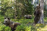 KA_160624_444 / Ursus arctos / Brunbjørn