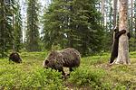 KA_160624_493 / Ursus arctos / Brunbjørn