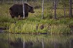 KA_160625_120 / Ursus arctos / Brunbjørn