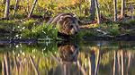 KA_160625_36 / Ursus arctos / Brunbjørn