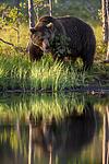 KA_160625_40 / Ursus arctos / Brunbjørn