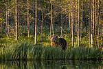 KA_160625_50 / Ursus arctos / Brunbjørn
